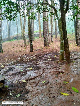hutan_pinus_imogiri2